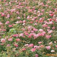 大量供应-优质红花酢浆草