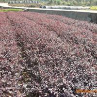 大量供应本苗圃特色苗木 红桎木小苗