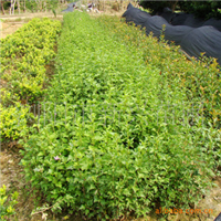 新兴苗圃出售优质绿化灌木芙蓉花