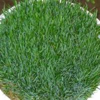 常年低价销售黑麦草种(量大价优)【草坪草种】