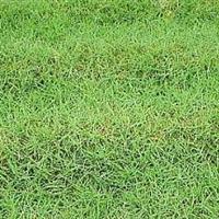草坪合作社大量批发-草坪-矮生百慕大草坪-沙培果岭草-量大从优