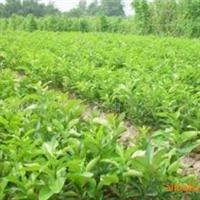 长兴果蔬专业合作社大量供应红心蜜柚苗