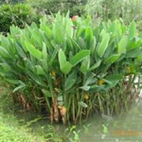 供应水生植物 再力花
