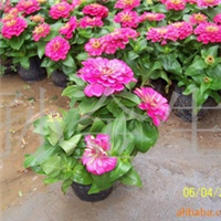 供应一串红 万寿菊 彩叶草 矮牵牛 四季海棠等草花花卉400-662772