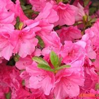 供应尖叶、红双喜、比利时、花牡丹等系列杜鹃花