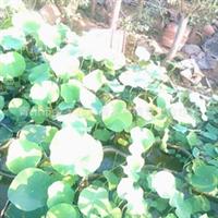 出售开花荷花、睡莲、碗莲等水生植物花卉400-6627727