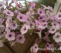 出售波浪、轻浪系列垂吊矮牵牛等草花花卉400-6627727