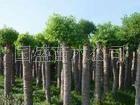 大量供应杀头香樟树苗木