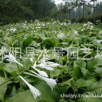 苏北园林----供应玉簪,别名玉春棒、白鹤花、玉泡花、白玉簪
