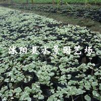 花叶活血丹(遍地香、地钱儿、钹儿草、连钱草、铜钱草、乳香藤)