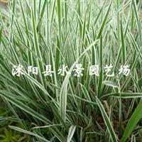 苏北园林 花叶燕麦草