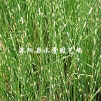 供应各种水生植物 水葱(管子草、莞蒲、冲天草)
