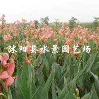 【水景园艺诚销】供应水生红色美人蕉(低价销售 欢迎即时订购 )