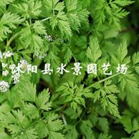 供应各种水生植物   水芹(另售 慈姑 再力花 睡莲 荷花 等)