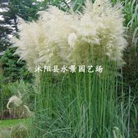 供应各种水生植物——蒲苇、矮蒲苇