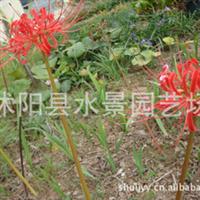 石蒜  (别号老鸦蒜、蒜头草、蟑螂花、曼珠沙华、彼岸花)