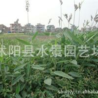 直销各种水生植物——再力花(别名:水竹芋,水莲蕉,塔利亚)