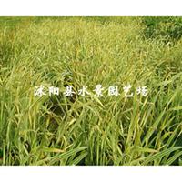 大量供应水生植物  花叶菖蒲