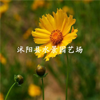 供应大花金鸡菊 (别名剑叶波斯菊 、狭叶金鸡菊、剑叶金鸡菊)