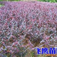 供应红花继木、栀子花、月季、杜鹃等绿化小苗