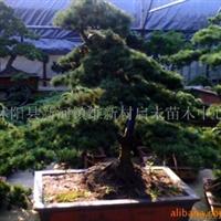 供应苗木蓬径20-90日本海棠.及各式树桩山水盆景等(图)