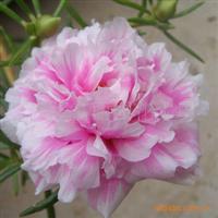 【花草种子】原装正品花卉种子 松叶牡丹种子
