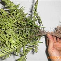 长年供应30-50公分高度移栽优质南方红豆杉盘景苗