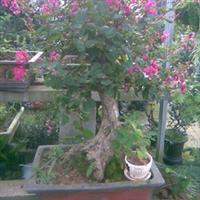花卉种子火炬松种子、金钱松种子、扁柏种子、罗汉松种子、