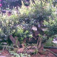七叶树种子红栌种子桂花种子白玉兰种子黄玉兰种子紫玉兰种子