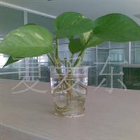 【小型水培吊兰绿萝】无土栽培|释放氧气|吸收甲醛|