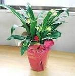 -盆栽花卉---万年青别名、冬不凋、铁扁担