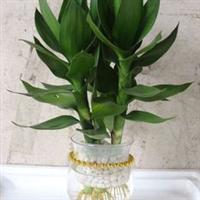 绿色植物 水培竹子 观音竹 可水培 可盆栽 净化空气