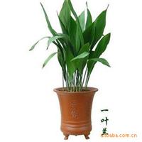 室内净化空气绿叶花卉 四季长青 一叶兰