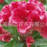 供应花卉种子批发  鸡冠花种子  观赏花卉  盆栽草花种子