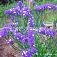 供应花卉种子   勿忘我种子   观花植物种子  盆栽草花种子