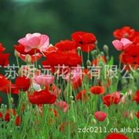 供应花卉种子批发  虞美人种子  观花植物种子  盆栽草花种子