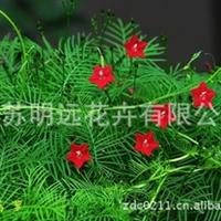 供应花卉种子  茑萝种子  观花植物  盆栽草花种子