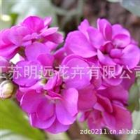 供应花卉种子  紫罗兰种子  不雅观花植物  草花种子