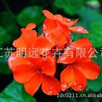 常年供应天竺葵种子 花卉种子 草花品种 不雅观赏花卉