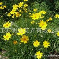 常年供应金鸡菊种子 盆栽花卉种子 草花品种 观赏花卉