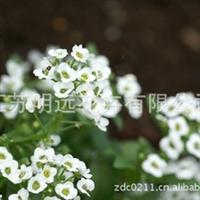 常年供应香雪球种子 花卉种子 草花品种 观赏花卉
