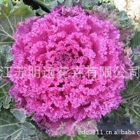 常年供应叶牡丹种子 花卉种子 草花品种 观赏花卉