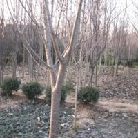 常年供应沭阳苗木:紫薇,紫金,红梅,红叶李,樱花