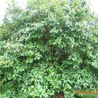 湖南苗木湖南花木供应含笑球40公分50公分60公分80公分1米1.2米