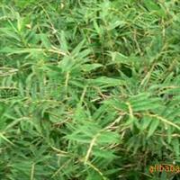 湖南深夜草莓视频app下载湖南花木供应凤尾竹,楠竹和各种竹类
