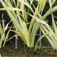 长城苗木公司供花叶香蒲,香樟,红马球等绿化苗木