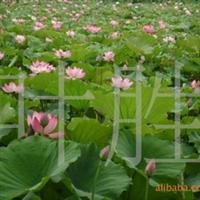 长城苗木公司供荷花,睡莲,水仙花等绿化苗木