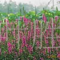 长城苗木公司供午屈菜,水仙花,雪松,荷花等绿化苗木