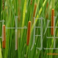 长城苗木公司供香蒲,香樟,水仙花,雪松,樱花等绿化苗木