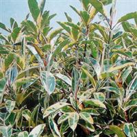 长城苗木公司供金边玉簪,樱花,荷花,合欢等绿化苗木